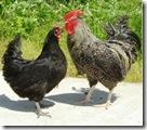 にいがた地鶏