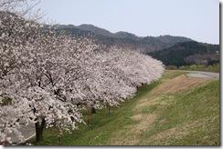 荒川の堤防上から眺める桜堤